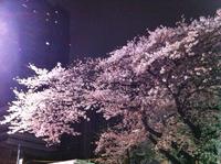 sakura20110408.jpg